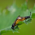 Large Rose Sawflies Mating by pyettphoto