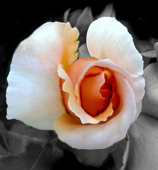 Peach Rose by Emma Moss