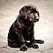 Black Labrador Puppy by Kristina Gavrilovic