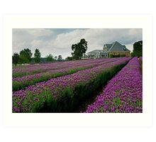 Lavender Farm Daylesford Victoria Art Print