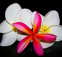 Frangipani by Tony Waite-Pullan