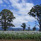 poppies - behind barbed wire  paddocks by gaylene