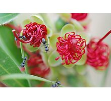 Red Bottle Brush Ants Photographic Print