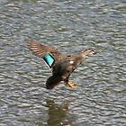 Pacific Black Duck landing by Christine Beswick