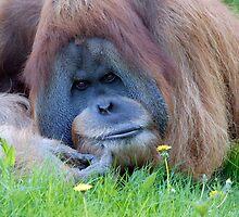 Orangutan1 by Colin White