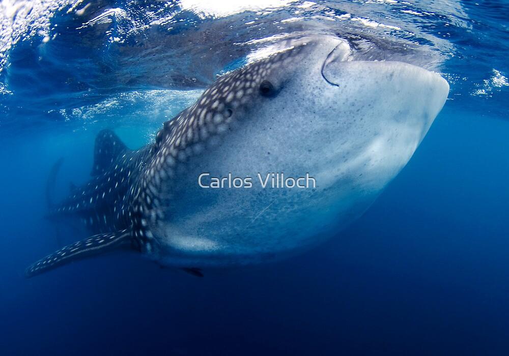 Whale Shark by Carlos Villoch