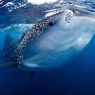 Whale Shark by Carlos Villoch