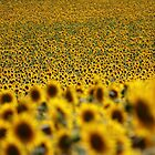 Sunflower field by Sébastien FERRAND