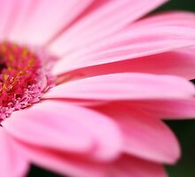 Pinks by Shuterbug