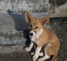 Stray Dog in Bir by Angie Spicer