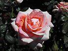 Rose Garden by Kayleigh Walmsley