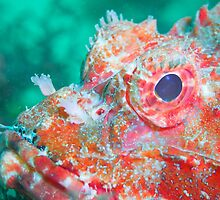 Red Stonefish by Rick Grundy