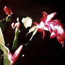 Christmas Cactus by Laura Dandaneau