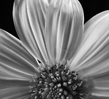 Daisy by Barbara Morrison
