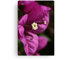 Purple Bougainvillea Canvas Print
