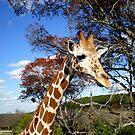 Baby Giraffe at Fossil Rim near Glenrose, TX by bigjason56