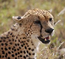 Cheetah   by Maria Kumlander