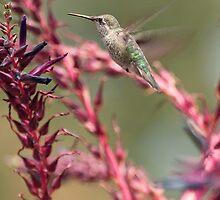 Hummingbird - Huntington Gardens by John Glass