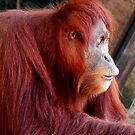 Orang Utan by Tom Newman