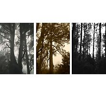 Misty trees at Sassafrass triptych Photographic Print