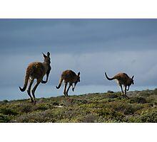 Powerful Kangaroos Bound Through The Wilderness Photographic Print