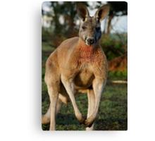 Powerful Red Kangaroo Canvas Print