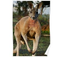 Powerful Red Kangaroo Poster