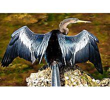 Anhinga Drying Wings Photographic Print