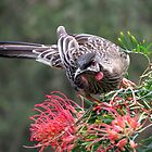 Red Wattlebird by TheGreatContini