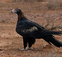 Wedge Tailed Eagle by wilderness
