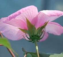 Beautiful Hibiscus 2 by Jacinthe Brault