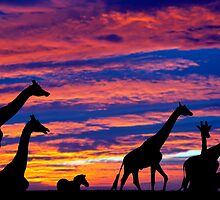 zebra and giraffes resting in the sunset by morrbyte