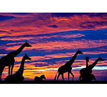 zebra and giraffes resting in the sunset Photographic Print