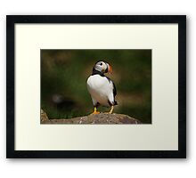 Atlantic Puffin, Witless Bay Ecological Reserve, NL Framed Print