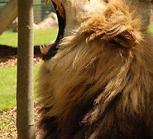 Lion by woolcos