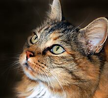 C C the Maine Coon by Bob Hortman
