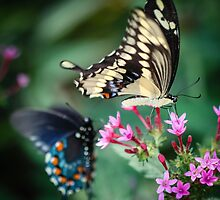 Giant Swallowtail Papilio Cresphontes by Henrik Lehnerer