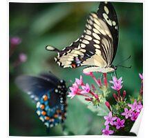 Giant Swallowtail Papilio Cresphontes Poster