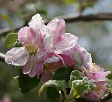 Apple blossoms by Jean Knowles