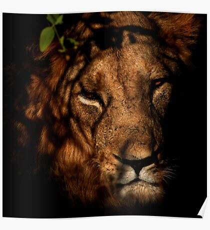 Masai Mara Lion Poster