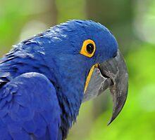 Hyacinth Macaw by Jeff Ore