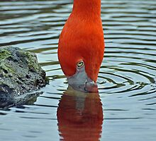 Two in One Flamingo by Jeff Ore