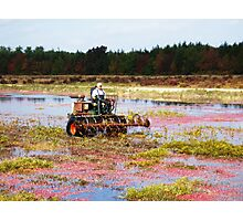 Cranberry Harvest 2 Photographic Print