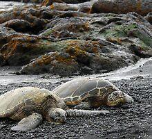 Hawksbill Sea Turtle - Kona, HI by SebastianPhoto