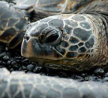 Hawksbill Sea Turtle 2 - Kona, HI by SebastianPhoto