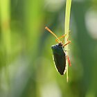 Shield Bug by miall