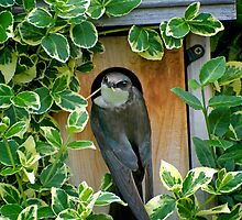 female tree swallow by KathleenRinker