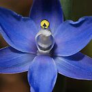 A  Thelymitra nuda      Tall Blue Sun Orchid  by Ron  Long