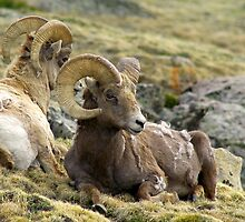 Bighorn Sheep  Rocky Mountain Nat'l Park  Colorado by gtowns