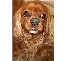 Faithful King Charles Photographic Print